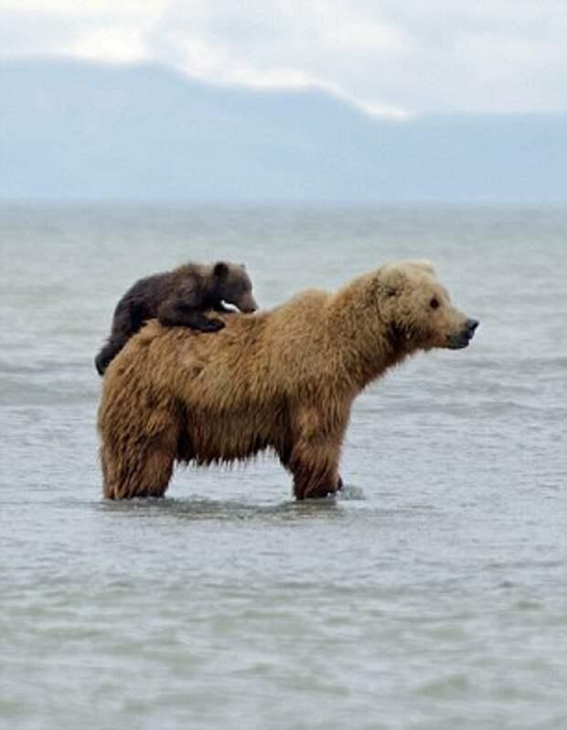 Как кататься на медведе: фотографии с Аляски