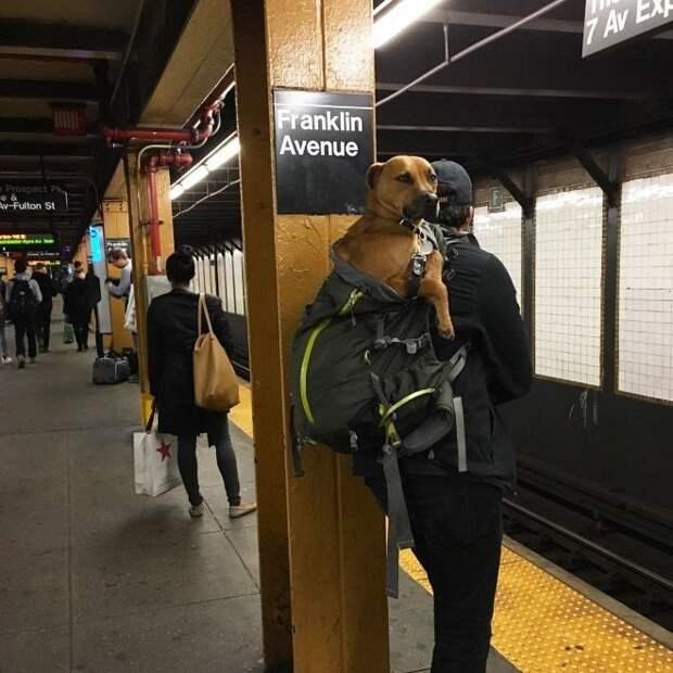 Жители Нью-Йорка нашли выход, как обойти запрет на собак в метро