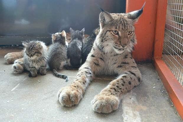 Рысь Алена и котятки. Источник фото: irkutsk.bezformata.com