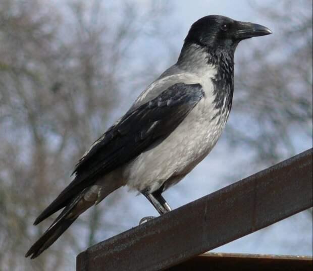 5 птиц, которые могут напасть на вас