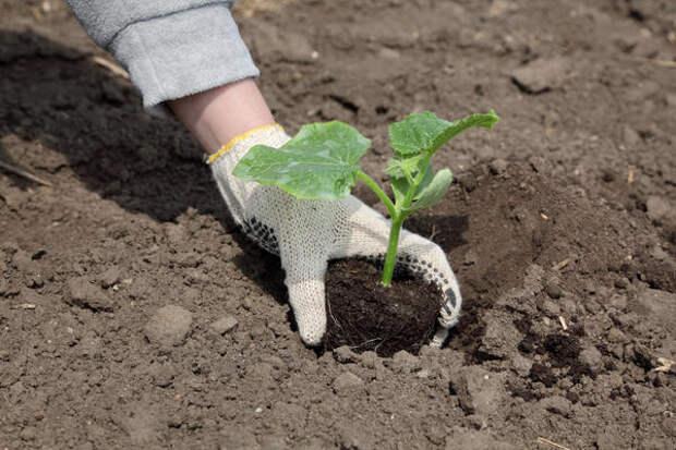 Рассаду огурцов высаживают в грунт с приходом устойчивого потепления