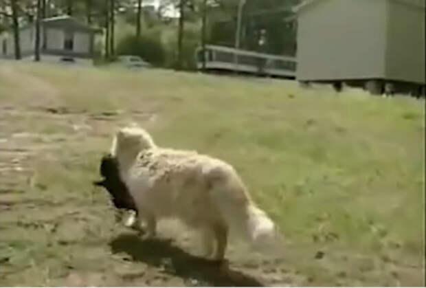 Сила материнского инстинкта: кошка похитила соседских щенят, чтобы заботиться о них