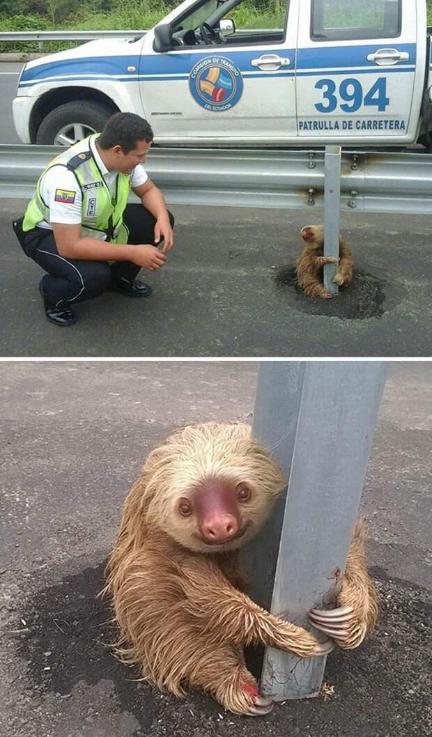 Полицейские спасли маленького испуганного ленивца, застрявшего на шоссе Счастливый конец, животные, спасение
