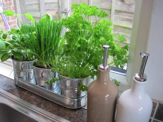 Картинки по запросу выращивать зелень дома