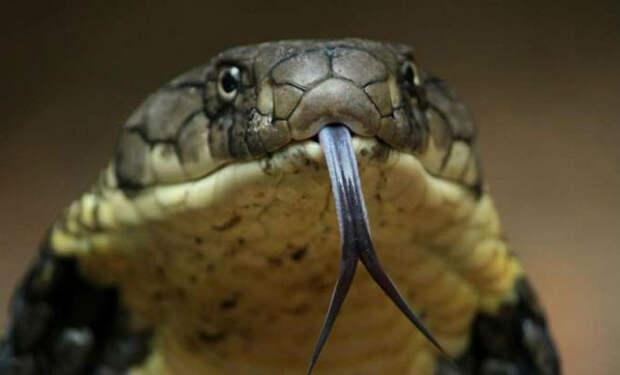 Почему у змей раздвоенный язык