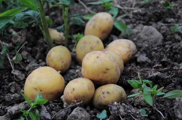 Абсолютно точно останетесь без урожая, если не провернете одну хитрость с картошкой