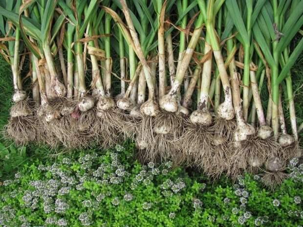 Как правильно посадить чеснок под зиму