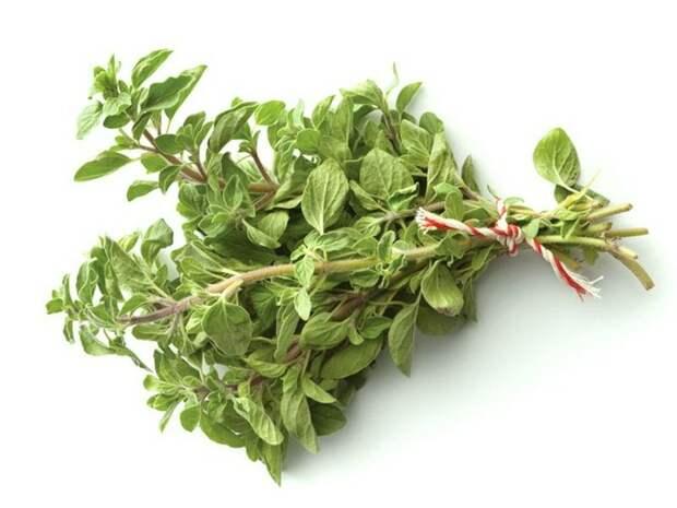 пряные травы: майоран (Origanum majorana)
