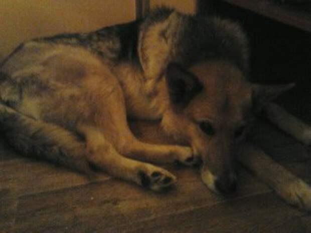 Первые дни спасенный пес, котрого назвали Мухтаром, мог только лежать