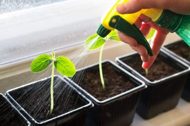 Ошибки при выращивании рассады в домашних условиях