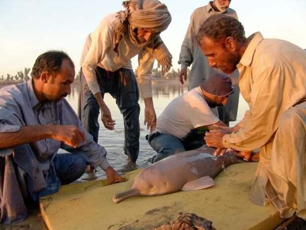Слепые дельфины помойных рек Индии