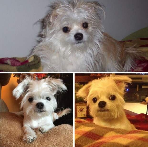 Ох, и похорошели! :) Псы-красавцы до и после похода к парикмахеру…