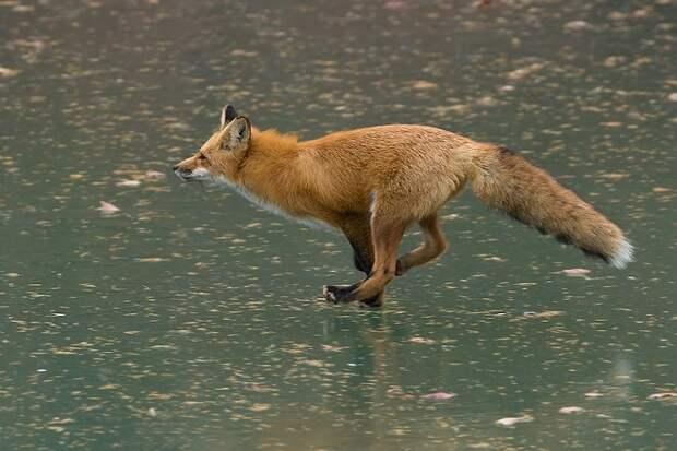 Лиса бежит