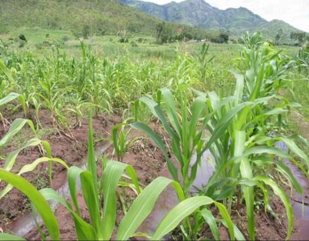 Как вырастить кукурузу в условиях зоны рискованного земледелия