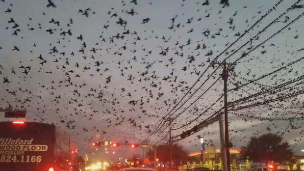 В Техасе огромная стая мечущихся птиц над шоссе напугала водителей
