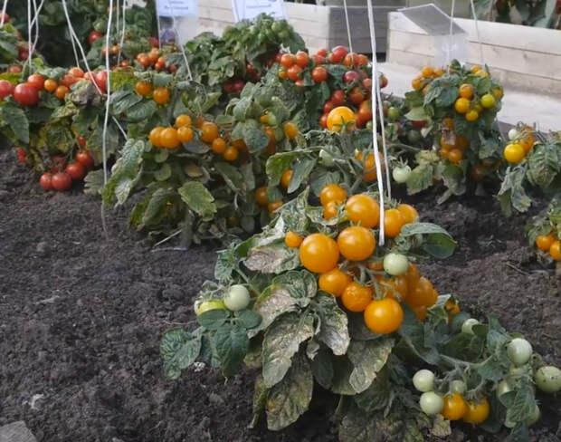 Как получить максимальную отдачу от штамбовых помидоров