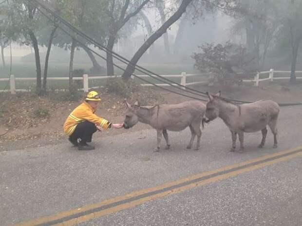 пожарный кормит ослов