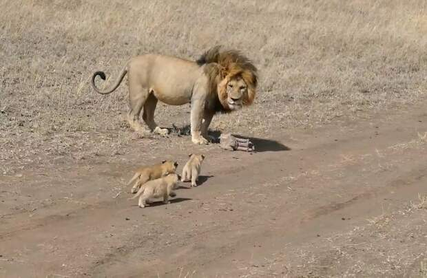 Забавное видео: Лев пытается сбежать от своих детенышей, но те упорно преследуют его