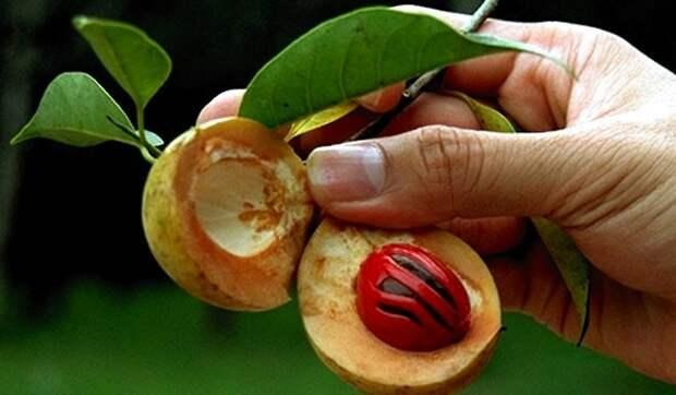 Картинки по запросу о мускатном орехе