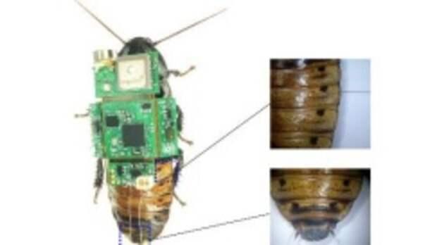 Ученые превратили таракана в киборга для поиска людей