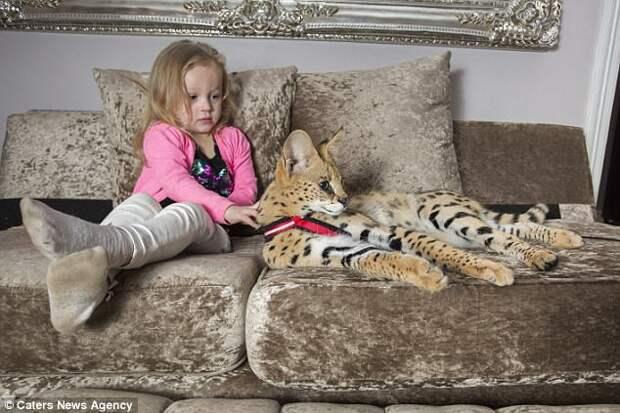 Семья с маленькими детьми завела дикую кошку, которая классифицируется как «опасная»