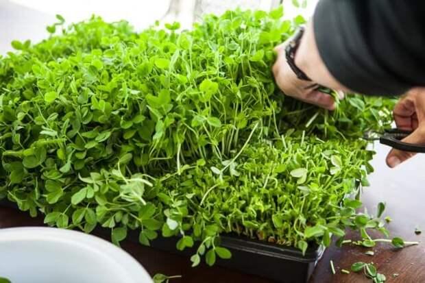 Картинки по запросу growing pea shoots without soil