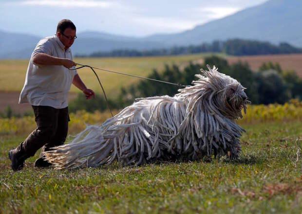 Комондор — венгерская овчарка. жизнь, интересные, фото