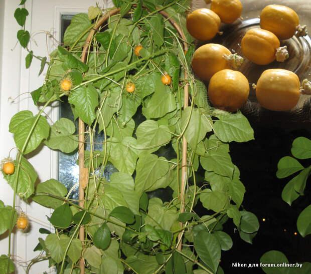 Оригинальные растения, которые можно вырастить дома из косточки