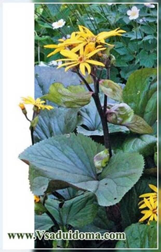 Бузульник (фото) в цветнике — посадка и уход