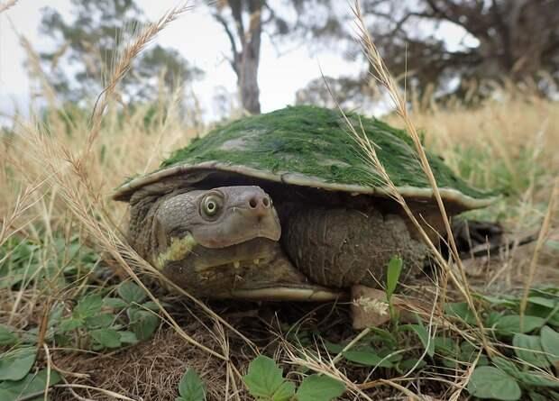 Черепахи оказались санитарами австралийских рек