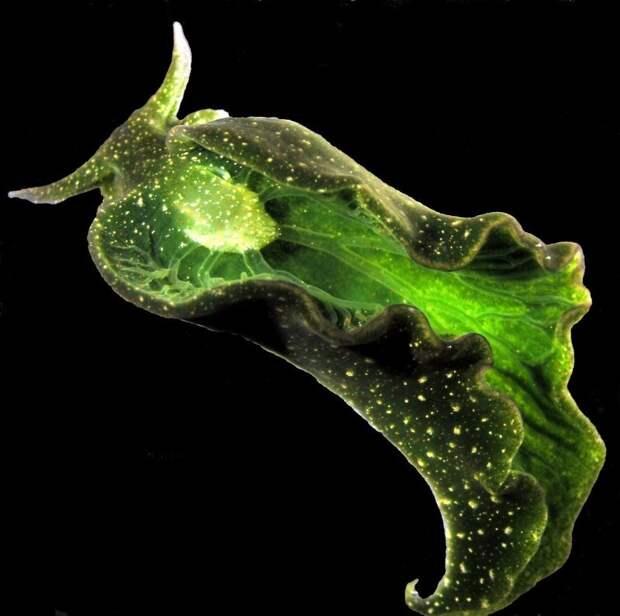 Elysia chlorotica - улитка которая может питаться солнечным светом.