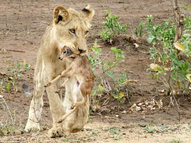 Захватывающее видео: лев заботится о детеныше антилопы антилопа, дикие животные, животные, лев, львы, львы видео, мир животных, хищник