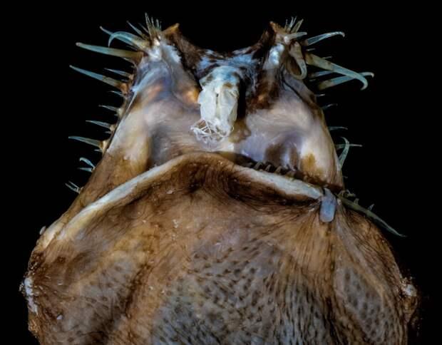 Тауматихта Акселя: 3600 метров глубины. Искаженное исчадие бездны и его образ жизни (6 фото + 1 гиф)