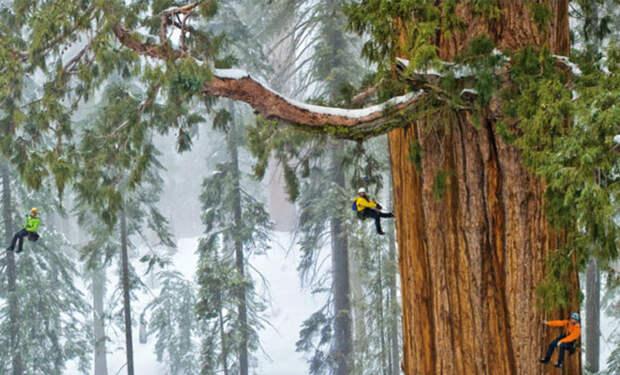 Дерево выросло до высоты 115 метров и продолжает расти. Видео