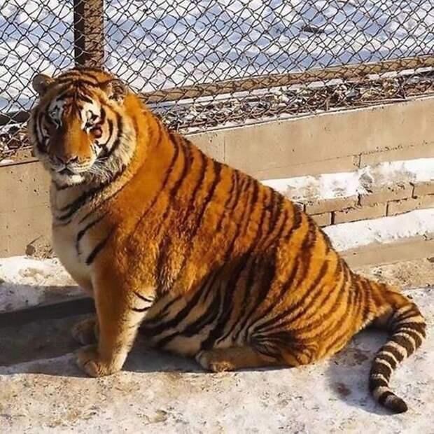 В китайском зоопарке растолстели амурские тигры зоопарк, китай, потолстели, тигры