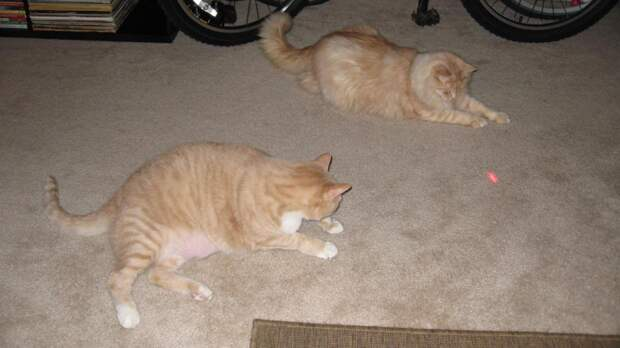 Кошка и красная точка: насколько безопасно играть с питомцем лазерной указкой