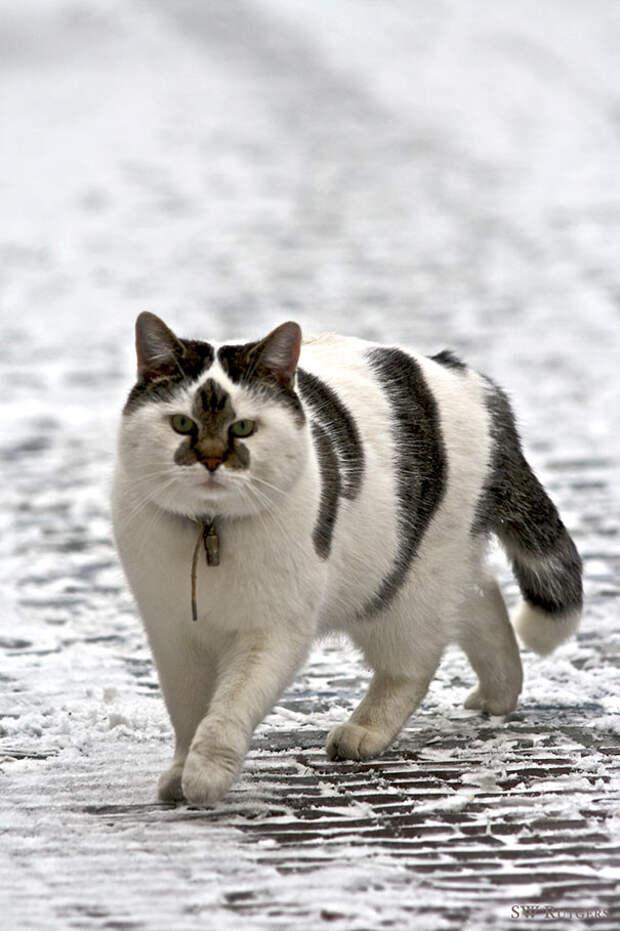 А на носу - звезда горит животные, забавно, коты, кошки, неожиданно, окрас, окрас кошек, фото