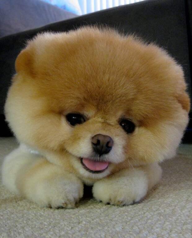 Собачка Boo - самая популярная собака (32 фото)