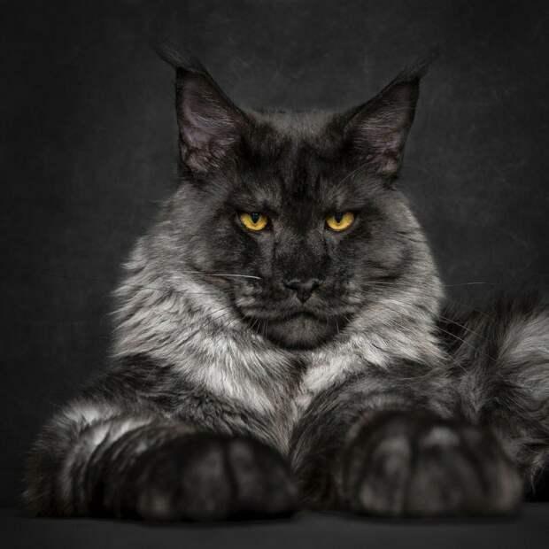 Самая-самая лучшая порода кошек!