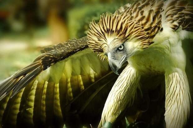 Филиппинская гарпия. Фото взято из открытых источников