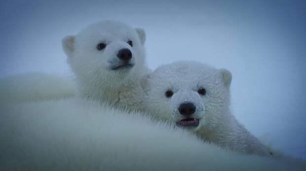 «Роснефть» продолжает наблюдение за белыми медведями на Земле Франца-Иосифа
