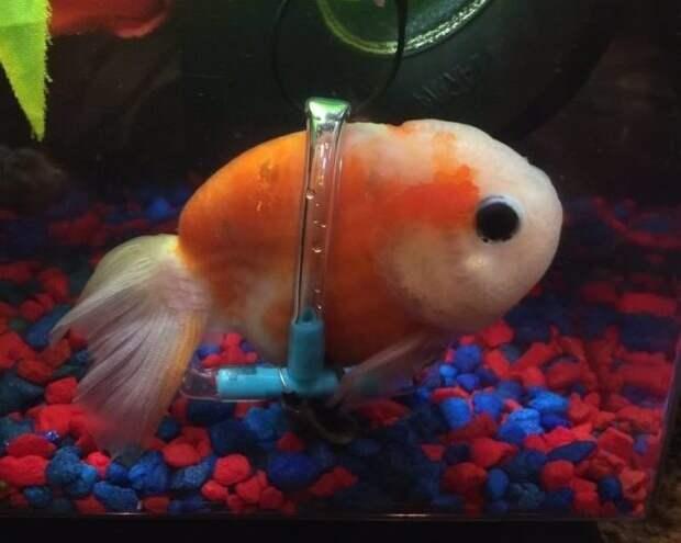 Сенсация! Парень сделал для золотой рыбки… инвалидную коляску! :)