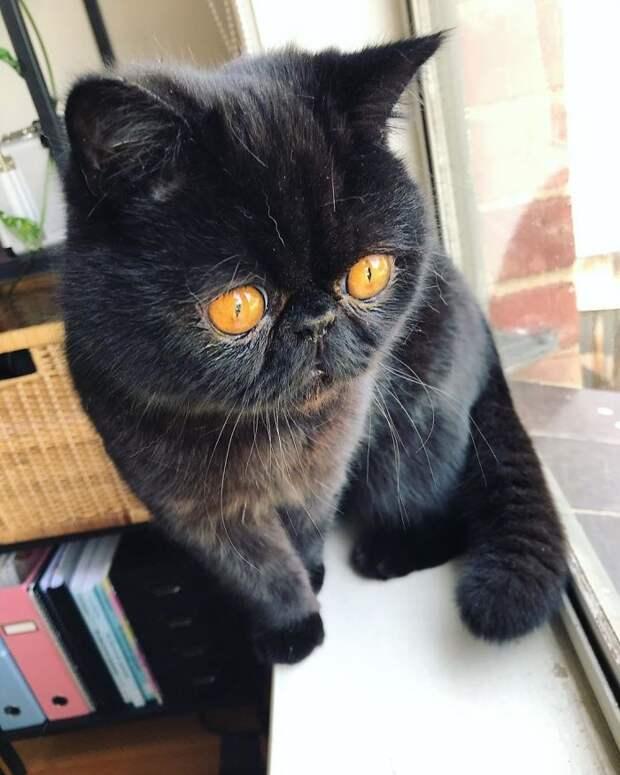Чернее ночи и глаза как окошки в пекло: кот Гремлин восхитил соцсети
