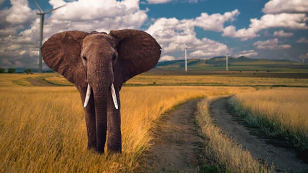 Африканский слон.