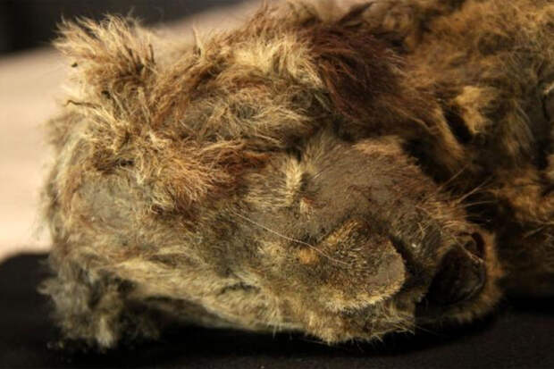 В Якутии нашли замерзшего пещерного львенка возрастом 28 тысяч лет