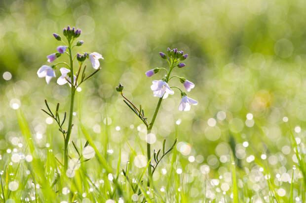 Сердечник луговой — многолетнее травянистое растение