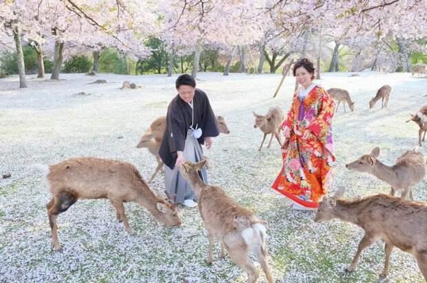 Сказка наяву: олени в японском парке во время цветения сакуры