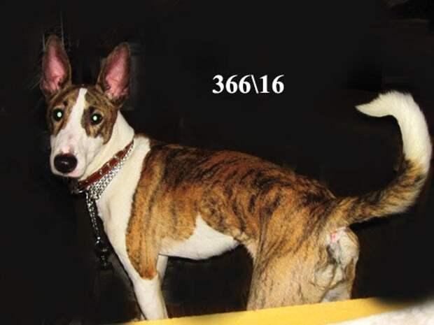 Хозяин довел бультерьера до крайнего истощения и привел его в приют бультерьер, порода, собака