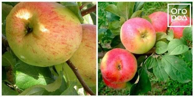 яблоки балтика