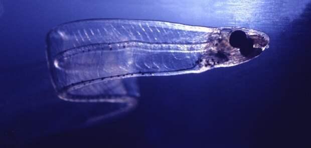 Учёные открыли интересную особенность острохвостых угрей